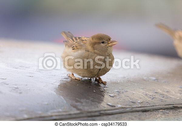 Sparrow close up - csp34179533