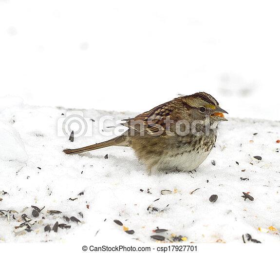 Sparrow feeding on Seeds - csp17927701