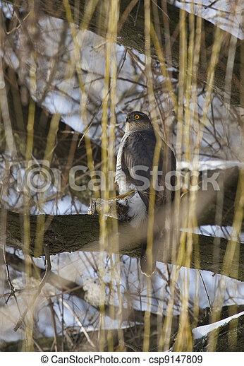 Sparrow hawk sitting on a tree. - csp9147809