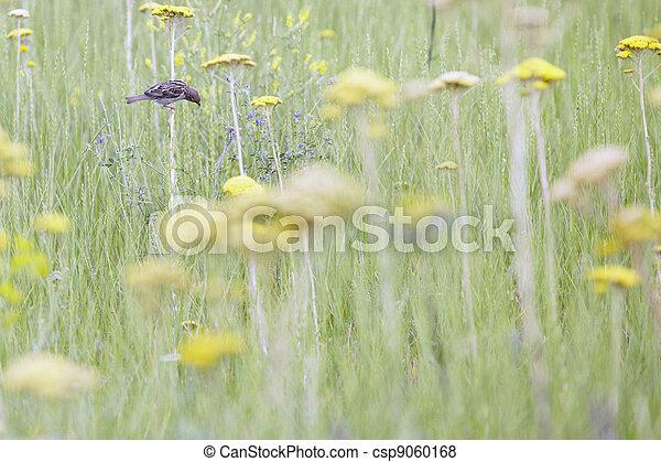 Sparrow in the field - csp9060168