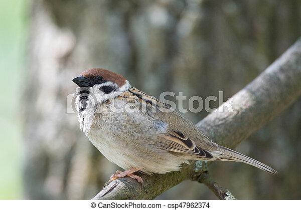 sparrow on a branch - csp47962374