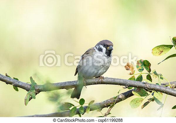 Sparrow on a branch - csp61199288