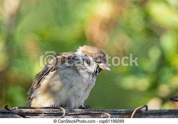 Sparrow on a branch - csp61199289