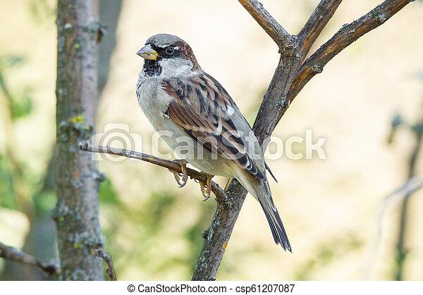 Sparrow on a branch - csp61207087