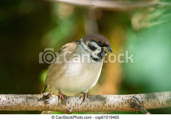 Sparrow on a branch - csp61019465