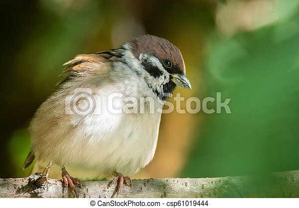 Sparrow on a branch - csp61019444