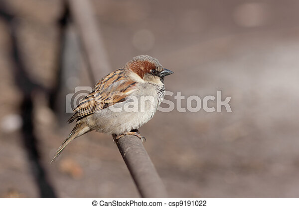 sparrow on a fencing pipe - csp9191022