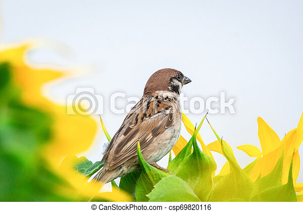 Sparrow on a sunflower - csp69820116