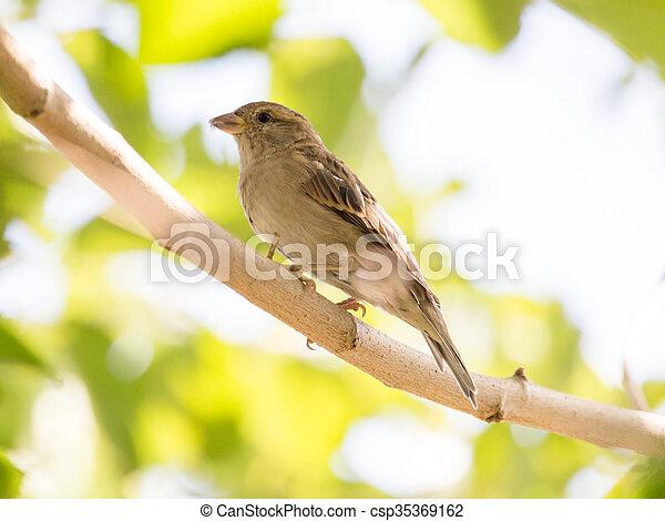 Sparrow on a tree - csp35369162