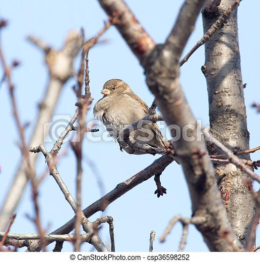 Sparrow on a tree - csp36598252