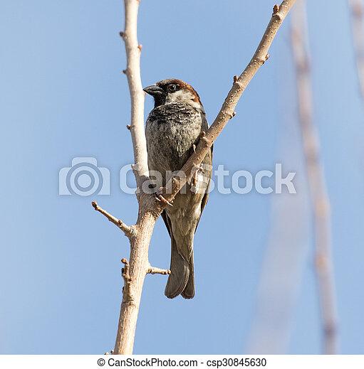 Sparrow on a tree - csp30845630