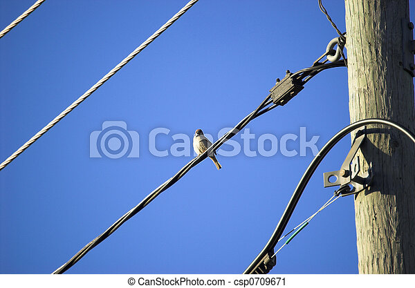Sparrow on a Wire - csp0709671