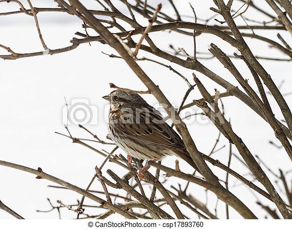 Sparrow on Branch - csp17893760