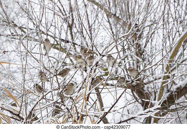 Sparrow on branches of bushes. Winter weekdays for sparrows. Common sparrow on the branches of currants - csp42309077