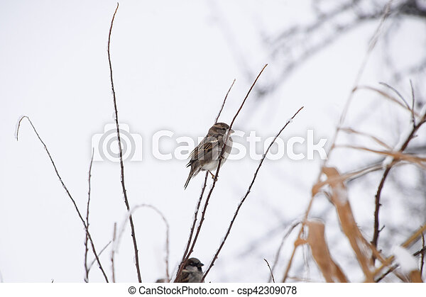 Sparrow on branches of bushes. Winter weekdays for sparrows. Common sparrow on the branches of currants - csp42309078