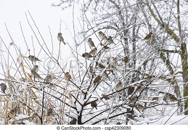 Sparrow on branches of bushes. Winter weekdays for sparrows. Common sparrow on the branches of currants - csp42309080