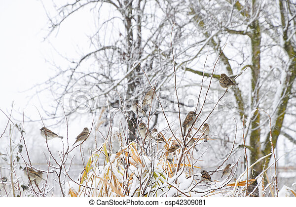 Sparrow on branches of bushes. Winter weekdays for sparrows. Common sparrow on the branches of currants - csp42309081