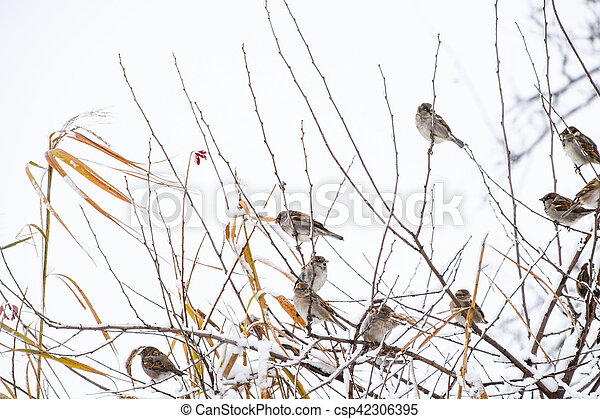 Sparrow on branches of bushes. Winter weekdays for sparrows. Common sparrow on the branches of currants - csp42306395