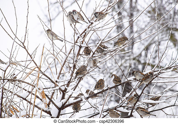 Sparrow on branches of bushes. Winter weekdays for sparrows. Common sparrow on the branches of currants - csp42306396