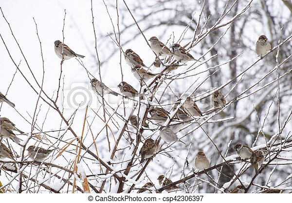 Sparrow on branches of bushes. Winter weekdays for sparrows. Common sparrow on the branches of currants - csp42306397