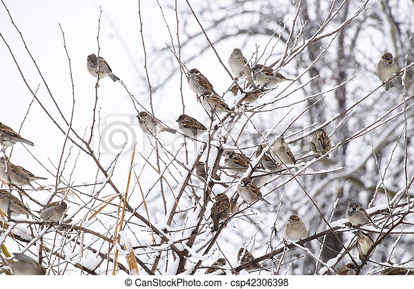 Sparrow on branches of bushes. Winter weekdays for sparrows. Common sparrow on the branches of currants - csp42306398