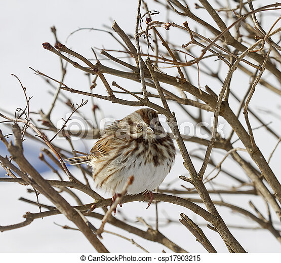 Sparrow on Branches - csp17903215