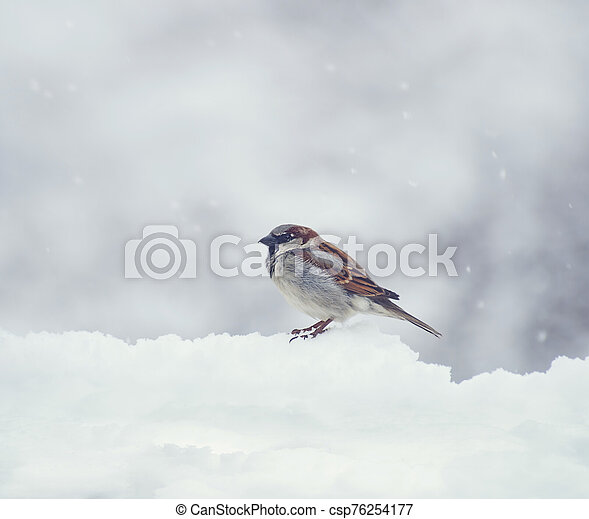 Sparrow on snow in the winter - csp76254177