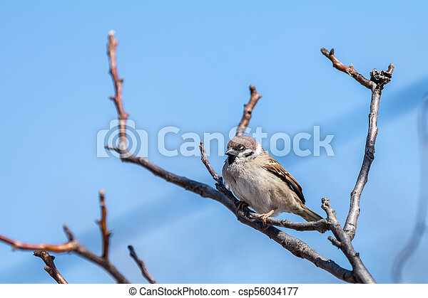 Sparrow on the branch. Sunny day. Blue sky. Beautiful early spring day. - csp56034177