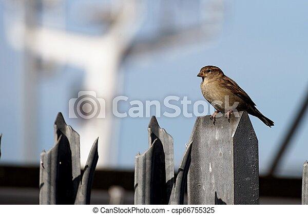 Sparrow on the fence - csp66755325