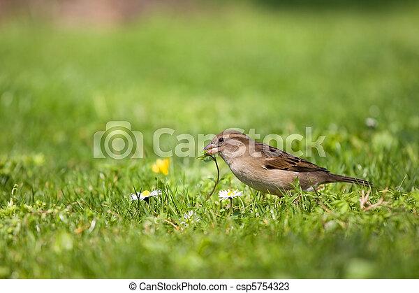 Sparrow on the grass - csp5754323