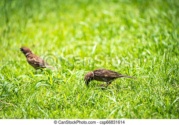 Sparrow on the green field. - csp66831614