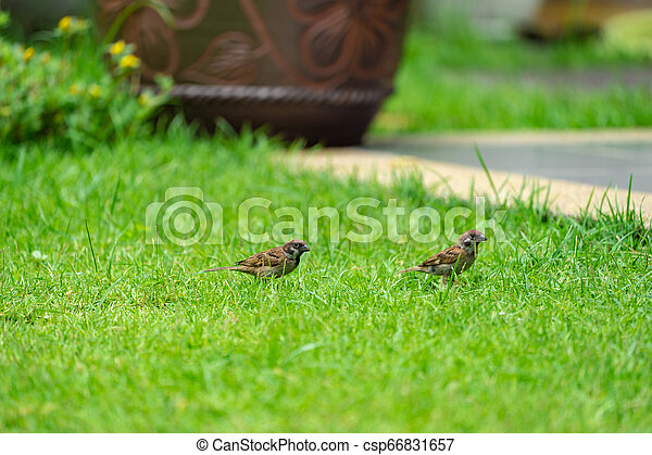 Sparrow on the green field. - csp66831657
