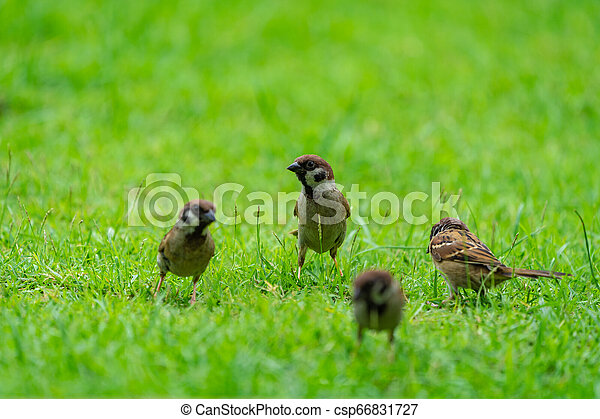 Sparrow on the green field. - csp66831727