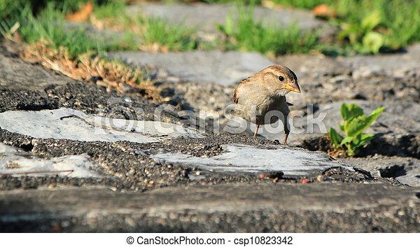 Sparrow on the ground - csp10823342