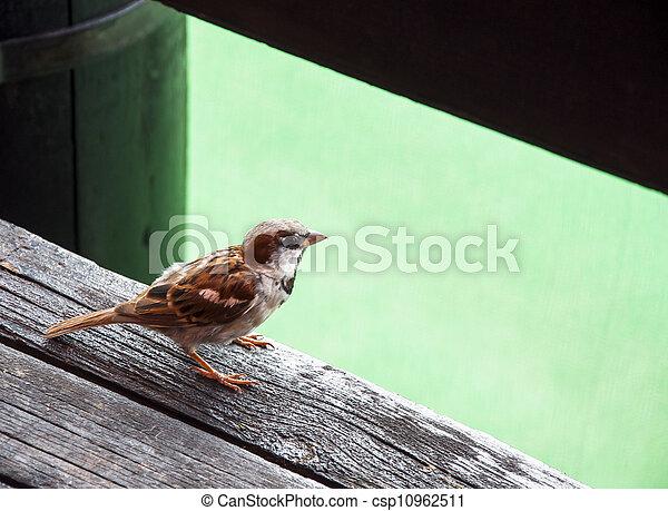 Sparrow - csp10962511