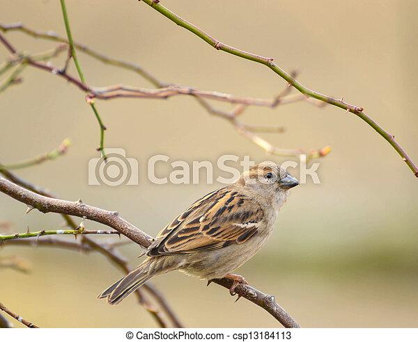 Sparrow - csp13184113