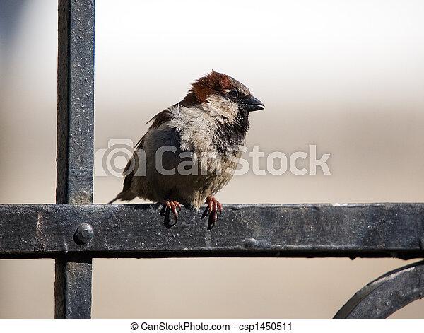 Sparrow - csp1450511