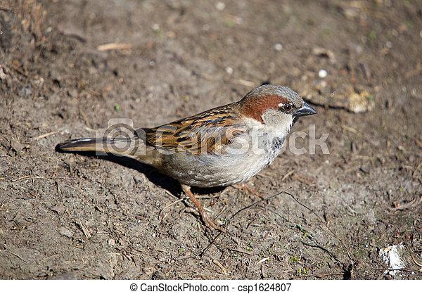 sparrow - csp1624807