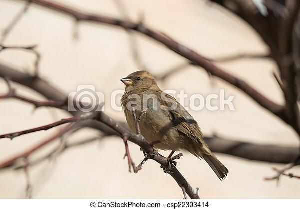 sparrow - csp22303414