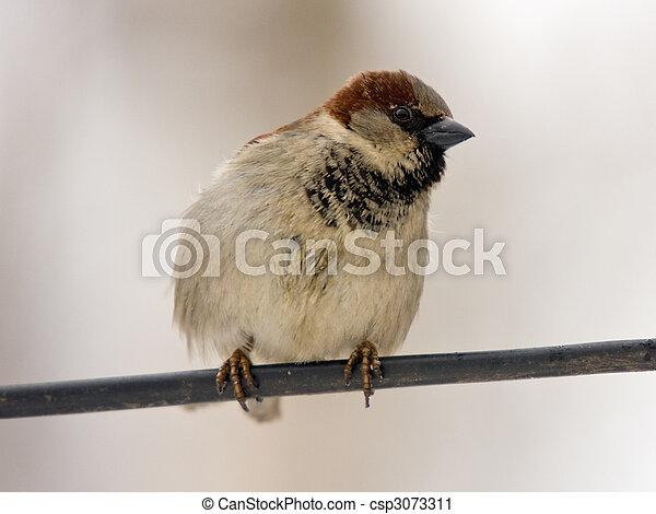 sparrow - csp3073311