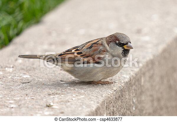 sparrow - csp4633877