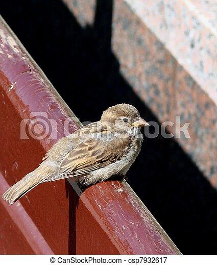 Sparrow - csp7932617