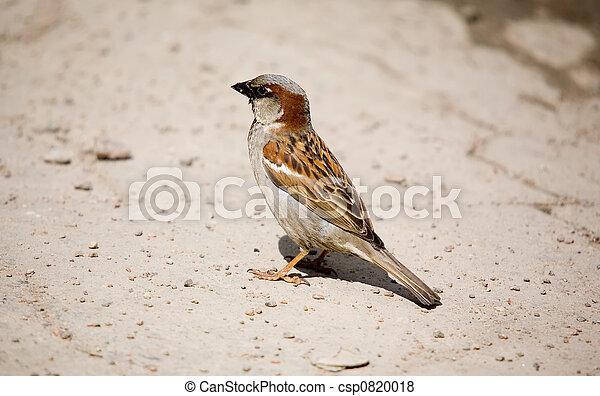 Sparrow - csp0820018