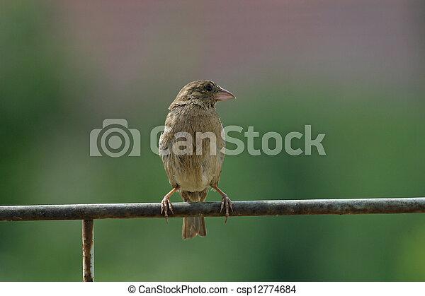 Sparrow - csp12774684
