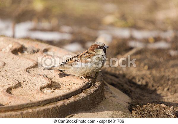 sparrow - csp18431786