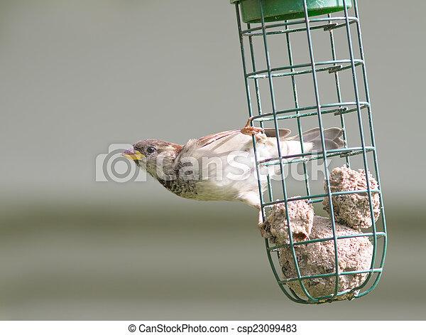 Sparrow - csp23099483