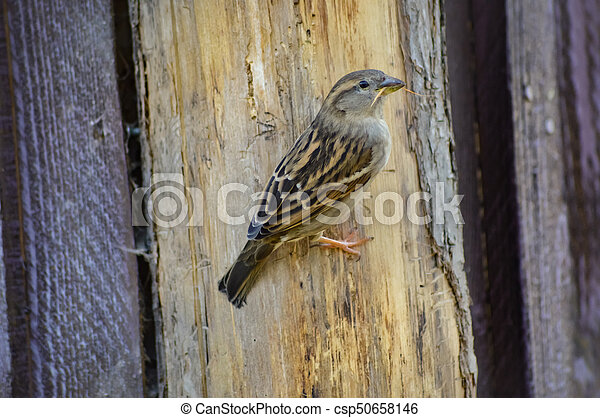 Sparrow posed on a wooden hut - csp50658146