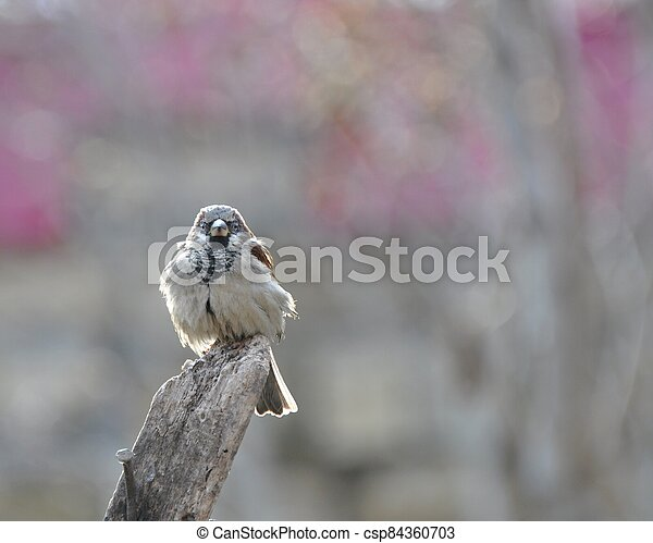Sparrow sits on an old wooden beam, basking in the sun, vigilantly peering. - csp84360703