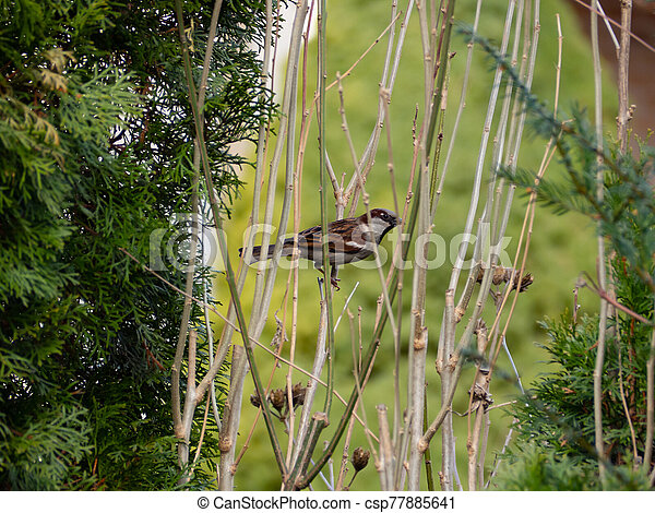 Sparrow sitting on a branch in the bushes - csp77885641