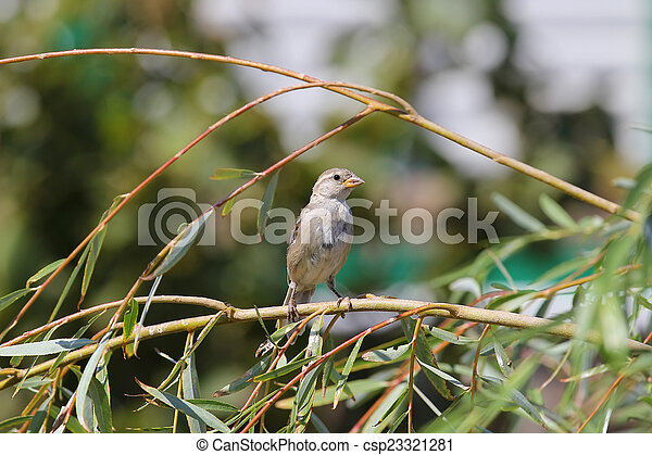 sparrow sitting on a branch - csp23321281